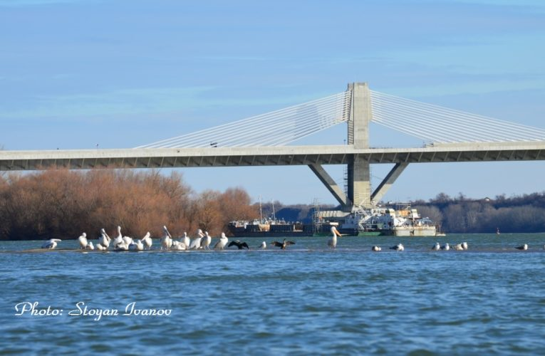 The Pelicans Hibernate at Danube Bridge Vidin-Calafat