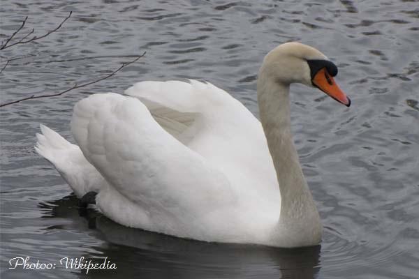 Лебеди в Дунав