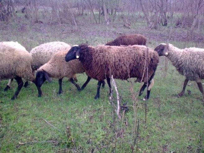Някой трови овце