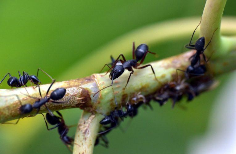Как да се отървете от мравките вкъщи и в градината