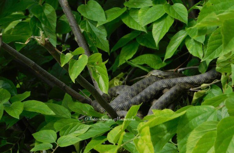Змии бягат от Дунав