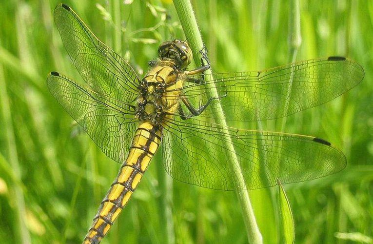 Водните кончета – враг №1 на комарите