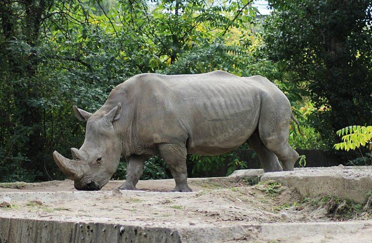 Приказка за въдицата и Носорога