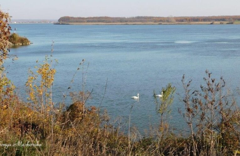 Лебедите в Дунав