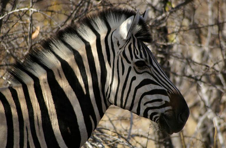 Приказка за зебрата и намазаната филийка